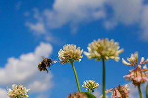 White-tailed bumblebee (Bombus lucorum) flying to White clover (Trifolium repens) flowers, Monmouthshire, Wales, UK. July.  -  Phil Savoie