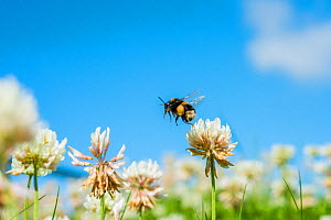 White-tailed bumblebee (Bombus lucorum) queen flying to White clover (Trifolium repens) flowers, Monmouthshire, Wales, UK. July.  -  Phil Savoie