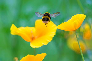 Buff tailed bumblebee (Bombus terrestris) in flight to Welsh poppy (Meconopsis cambrica) Monmouthshire, Wales, UK, July. - Phil Savoie