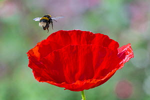 Buff-tailed bumblebee (Bombus terrestris) flying to Oriental poppy (Papaver orientale) Monmouthshire, Wales, UK. July.  -  Phil Savoie