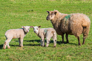 Badger-faced domestic sheep, ewe with lambs, Monmouthshire, Wales, UK, March. - Phil Savoie