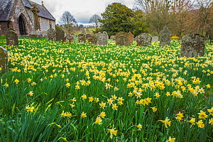 Saint Mary's Church Kentchurch graveyard with daffodils, Herefordshire, England, UK, March 2017.  -  Phil Savoie