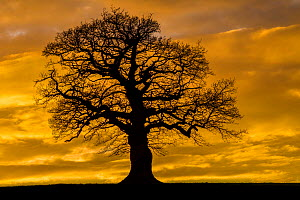 English oak tree (Quercus robur) at sunset, Monmouthshire Wales UK, March.  -  Phil Savoie