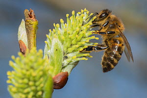 European honey bee (Apis mellifera) feeding on Goat willow (salix caprea) male flowers,  Monmouthshire, Wales, UK, March.  -  Phil Savoie