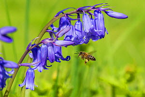 Honeybee (Apis mellifera) flying to Bluebell flowers (Hyacinthoides non-scripta) Monmouthshire, Wales, UK. April.  -  Phil Savoie