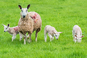 Domestic sheep ewe and lambs in pasture, Monmouthshire, Wales, UK, April. - Phil Savoie