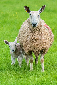 Domestic sheep ewe and lamb in pasture, Monmouthshire, Wales, UK, April. - Phil Savoie
