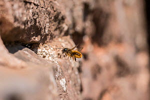 Red mason bee (Osmia bicornis) nesting in wall, Monmouthshire, Wales, UK, April.  -  Phil Savoie