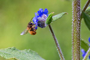 Red mason bee (Osmia bicornis) feeding on Green alkanet (Pentaglottis sempervirens), Monmouthshire, Wales, UK, April.  -  Phil Savoie
