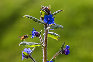 Red mason bee (Osmia bicornis) flying to  flower, Green alkanet (Pentaglottis sempervirens), Monmouthshire, Wales, UK, April.  -  Phil Savoie