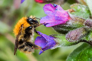Common carder bumblebee (Bombus pascuorum), feeding on lungwort (Pulmonaria officinalis), Monmouthshire, Wales, UK, April.  -  Phil Savoie
