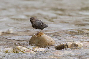 American dipper (Cinclus mexicanus) hunting in river, Madison River, Montana, USA. May.  -  Phil Savoie