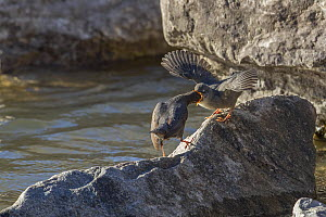 American dipper (Cinclus mexicanus) mother feeding fledgling chick, Madison River, Montana, USA. May.  -  Phil Savoie