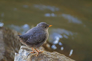 American dipper (Cinclus mexicanus) fledgling chick, Madison River, Montana, USA. May.  -  Phil Savoie