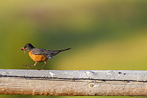 American robin (Turdus migratorius) with earthworm prey for chicks, Bozeman, Montana, USA, July. - Phil Savoie