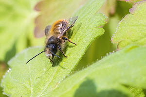 Red mason bee (Osmia bicornis) basking, Monmouthshire, Wales, UK, May.  -  Phil Savoie