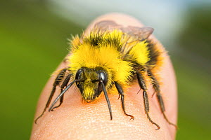 Early bumblebee (Bombus pratorum), newly emerged male with characteristic yellow collar and lack of stinger. Standing on human finger, Monmouthshire, Wales, UK. May. - Phil Savoie