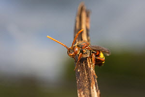 Nomad bee (Nomada flava) Monmouthshire, Wales UK, May.  -  Phil Savoie