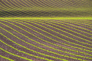 Field of Maize (Zea mays) seedlings, Monmouthshire, Wales, UK, May. - Phil Savoie