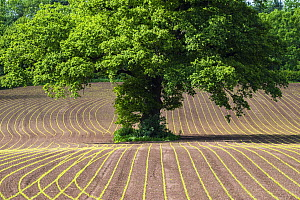 English oak tree (Quercus robur) in field of cultivated Maize (Zea mays) seedlings, Monmouthshire, Wales, UK, May.  -  Phil Savoie