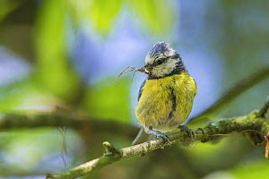 Blue tit (Cyanistes caeruleus) carrying insect prey to nest, Monmouthshire, Wales, UK. May.  -  Phil Savoie