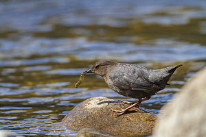 American dipper (Cinclus mexicanus) hunting insects in Madison river, Montana, USA. May.  -  Phil Savoie