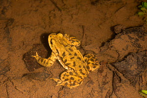 Common Toad (Bufo bufo) on lake bed during breeding, Herefordshire, England, UK. March.  -  Will Watson