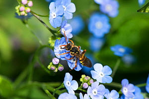 Gooden's nomad bee (Nomada gooeniana) on Great forget-me-not, (Brunnera macrophylla) in garden, Herefordshire Plateau, England, UK, May.  -  Will Watson