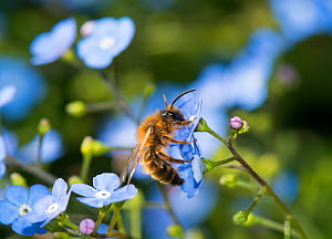 Buffish mining bee (Andrena nigroaenea) on  Great forget-me-not, (Brunnera macrophylla) in garden, Herefordshire Plateau, England, UK, May.  -  Will Watson