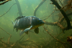Common carp (Cyprinus carpio) amongst the  roots of  trees along lake shore, the Netherlands, April  -  Willem  Kolvoort