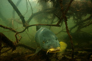 Common carp (Cyprinus carpio) amongst  the roots of  trees along lake shore, the Netherlands, March  -  Willem  Kolvoort