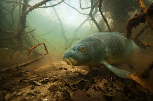 Common carp (Cyprinus carpio) amongst  the roots of  trees along lake shore, the Netherlands, March.  -  Willem  Kolvoort
