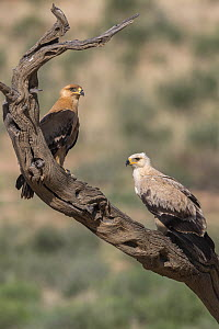 Tawny eagles (Aquila rapax), Kgalagadi Transfrontier Park, Northern Cape, South Africa.  -  Ann  & Steve Toon