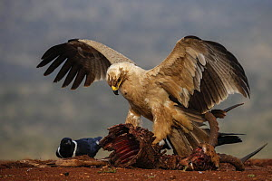 Tawny eagle (Aquila rapax) on carcass, Zimanga Private Game Reserve, KwaZulu-Natal, South Africa.  -  Ann  & Steve Toon