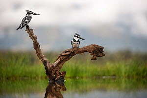 Pied kingfishers (Ceryle rudis), Zimanga Private Game Reserve, KwaZulu-Natal, South Africa, April 2017  -  Ann  & Steve Toon