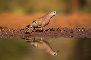 Emerald-spotted dove wood (Turtur chalcospilos), Zimanga Private Game Reserve, South Africa.  -  Ann  & Steve Toon