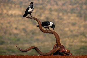 Pied crows (Corvus albus) perched on horns of antelope skull.  Zimanga Private Game Reserve, KwaZulu-Natal, South Africa. - Ann  & Steve Toon
