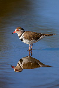 Three-banded plover (Charadrius tricollaris), Kruger National Park, South Africa.  -  Ann  & Steve Toon