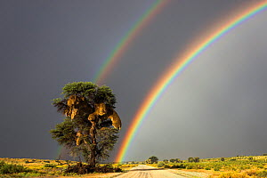 Double rainbow over Kgalagadi Transfrontier Park, Northern Cape, South Africa.  -  Ann  & Steve Toon