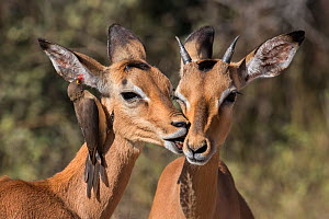 Impala (Aepyceros melampus) with redbilled oxpecker (Buphagus erythrorhynchus), Kruger National Park, South Africa.  -  Ann  & Steve Toon
