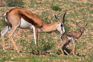 Springbok (Antidorcas marsupialis) mother grooming newborn calf, Kgalagadi Transfrontier Park, Northern Cape, South Africa, January.  -  Ann  & Steve Toon