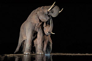 Elephants (Loxodonta africana) at waterhole drinking at night, Zimanga Private Game Reserve, KwaZulu-Natal, South Africa. - Ann  & Steve Toon