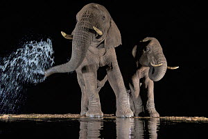 Elephants (Loxodonta africana) at waterhole drinking at night. One spraying water from trunk, Zimanga Private Game Reserve, KwaZulu-Natal, South Africa.  -  Ann  & Steve Toon
