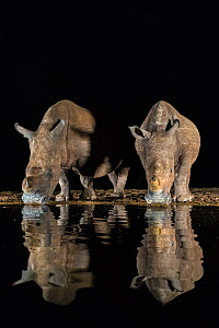 White rhino (Ceratotherium simum) at waterhole drinking at night, Zimanga Private Game Reserve, KwaZulu-Natal, South Africa.  -  Ann  & Steve Toon