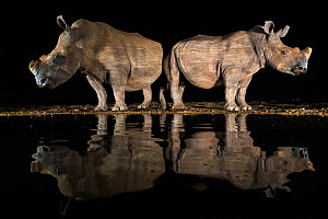 White rhino (Ceratotherium simum) at waterhole  at night, Zimanga Private Game Reserve, KwaZulu-Natal, South Africa. - Ann  & Steve Toon