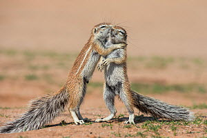 Young ground squirrels (Xerus inauris) fighting, Kgalagadi Transfrontier Park, Northern Cape, South Africa, January.  -  Ann  & Steve Toon