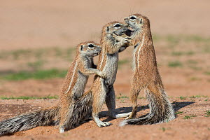 Young ground squirrels (Xerus inauris), Kgalagadi Transfrontier Park, Northern Cape, South Africa, January. - Ann  & Steve Toon