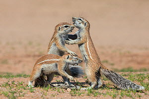 Young Ground squirrels (Xerus inauris) interacting, Kgalagadi Transfrontier Park, Northern Cape, South Africa, January. - Ann  & Steve Toon