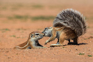 Ground squirrels (Xerus inauris) interacting, Kgalagadi Transfrontier Park, Northern Cape, South Africa, January. - Ann  & Steve Toon