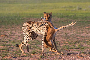 Cheetah (Acinonyx jubatus) with Springbok calf (Antidorcas marsupialis) prey that it has just caught, Kgakagadi Trans- frontier Park, Northern Cape, South Africa, January.  -  Ann  & Steve Toon